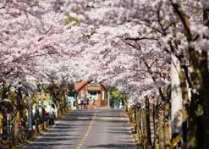Tour  Du Lịch Hàn Quốc Mùa Hoa Anh Đào Khởi Hành tháng 3, 4/2018